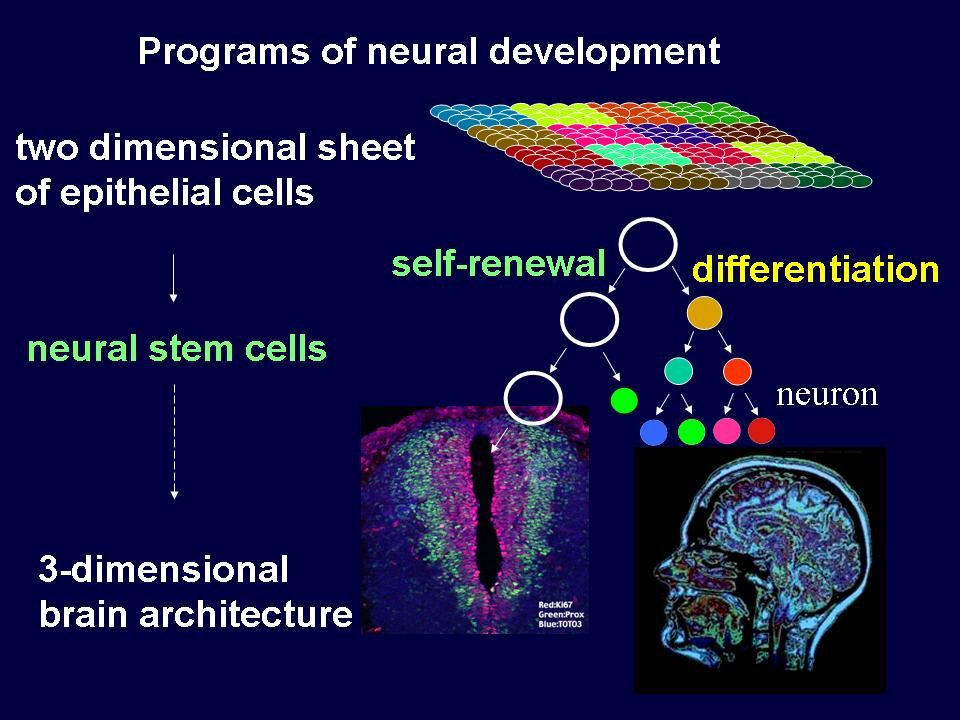 role of thyroxin in mammalian brain development During developmental years, t4 also is responsible for normal development of nerves and neurons thus the endocrine system is able to play a vital role in growth and development through the actions of thyroxine and growth hormonem, hathaway, d r.